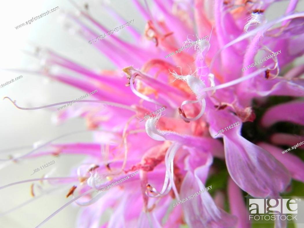 Stock Photo: Wild bergamot Monarda fistulosa flower.