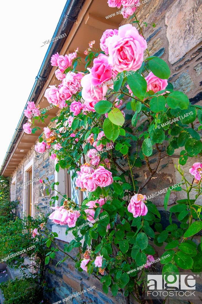 Stock Photo: Beautiful pink roses decorating a house outside.