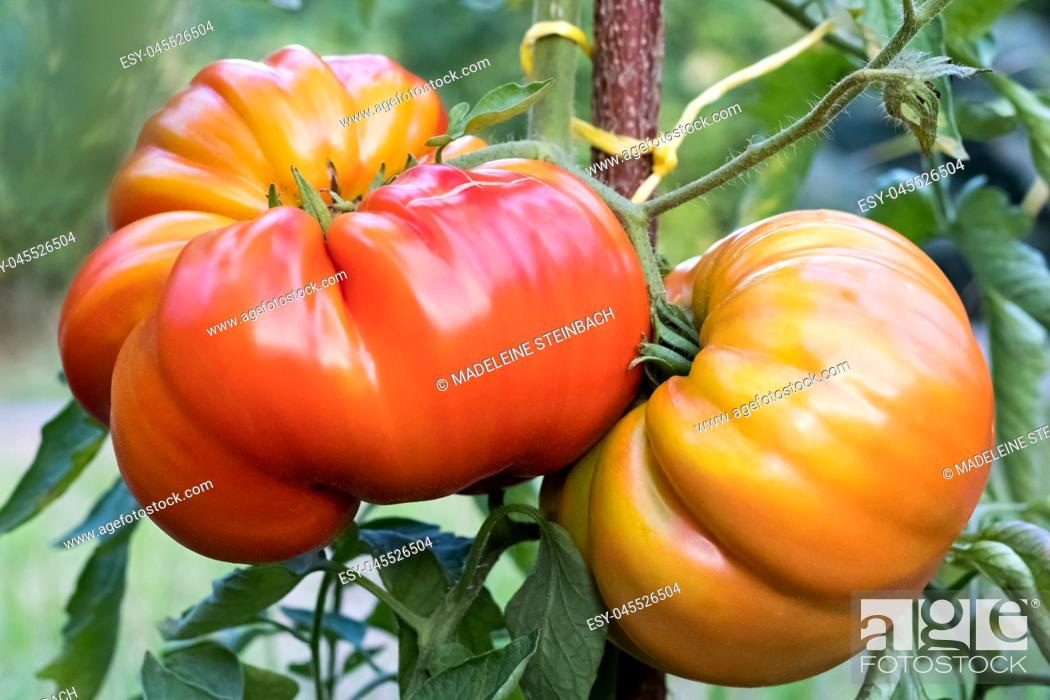 Stock Photo: Zapotec pleated heirloom tomatoes growing on a bush in the garden.