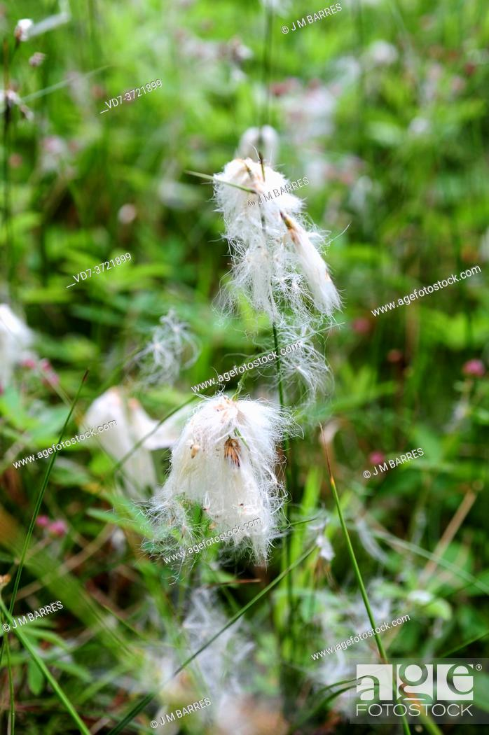 Stock Photo: Sheated cottonsedge or tussock cottongrass ( Eriophorum vaginatum) is a perennial herb native to North Europe, North America and North Asia.