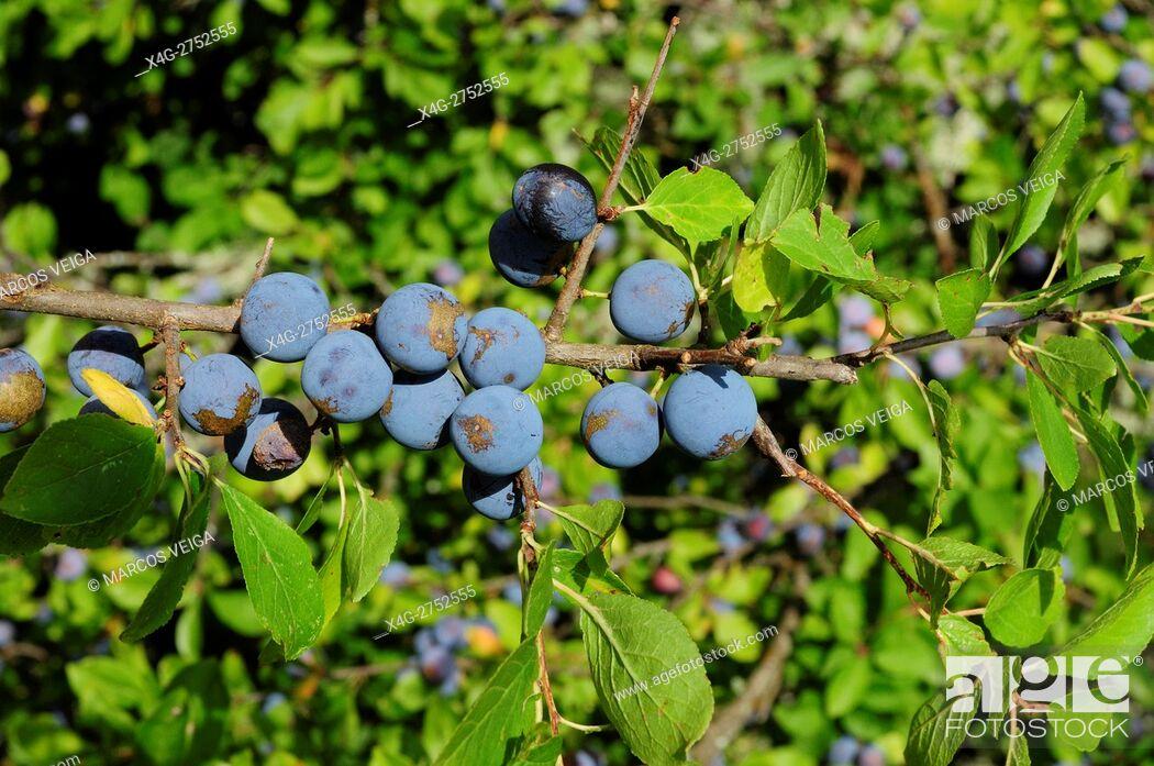Stock Photo: Blackthorn (Prunus spinosa).