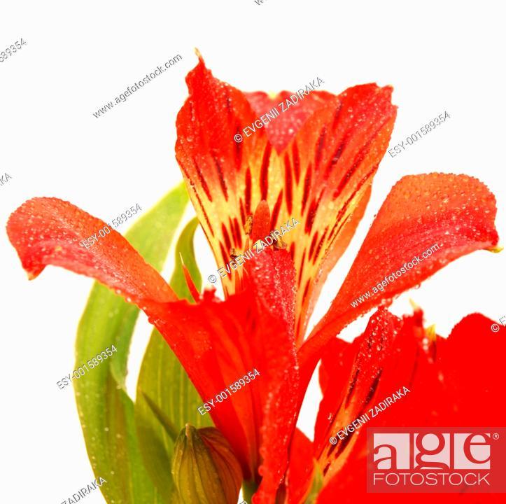 Stock Photo: Alstroemeria on a white background.