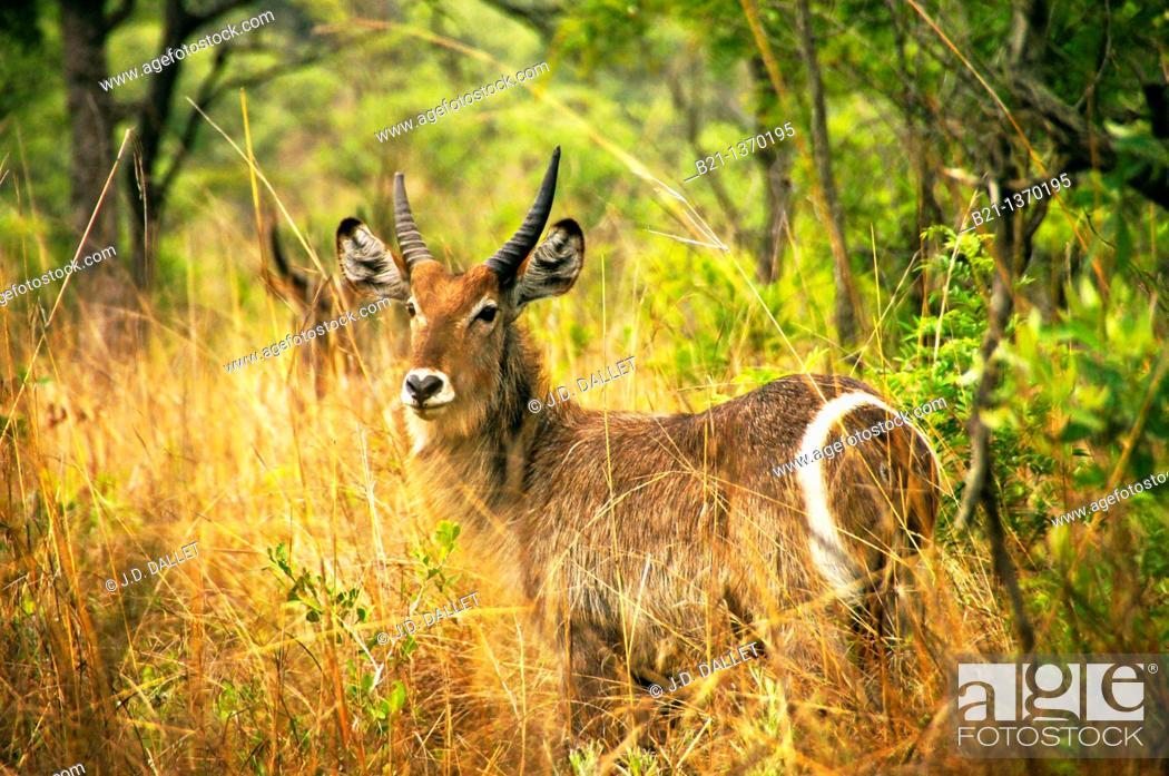 Stock Photo: Waterbuck (Kobus ellipsiprymnus), Kruger National Park, South Africa.