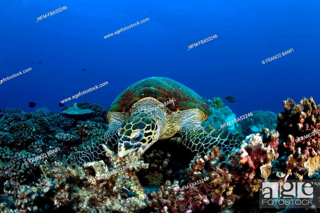Stock Photo: Hawksbill Turtle over Reef feeding on Coral, Eretmochelys imbricata, Moorea, French Polynesia.