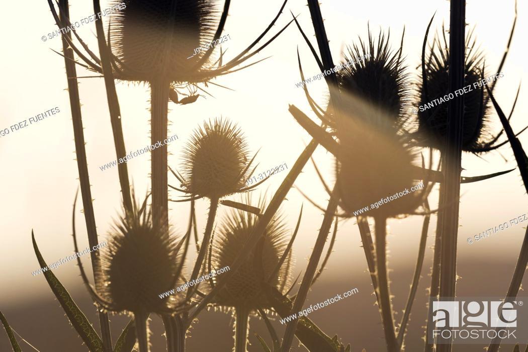 Stock Photo: Cotton thistle (Onopordum acanthium). Spain.