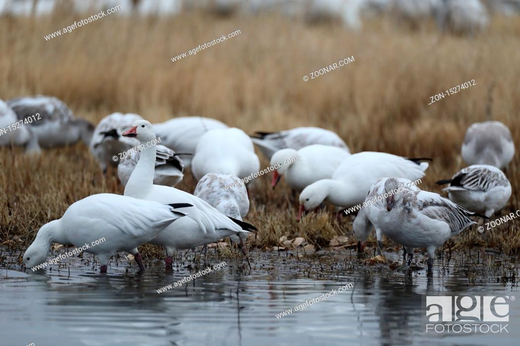 Stock Photo: Snow geese Bosque del Apache, New Mexico USA.