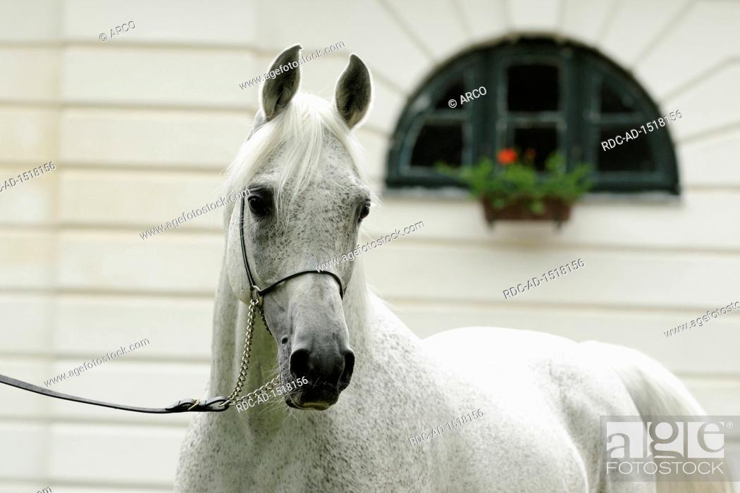 White Arabian Horse Stallion With Showholster Stock Photo Picture And Rights Managed Image Pic Rdc Ad 1518156 Agefotostock