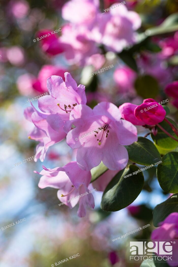 Stock Photo: Rhododendron Temple Belle group.