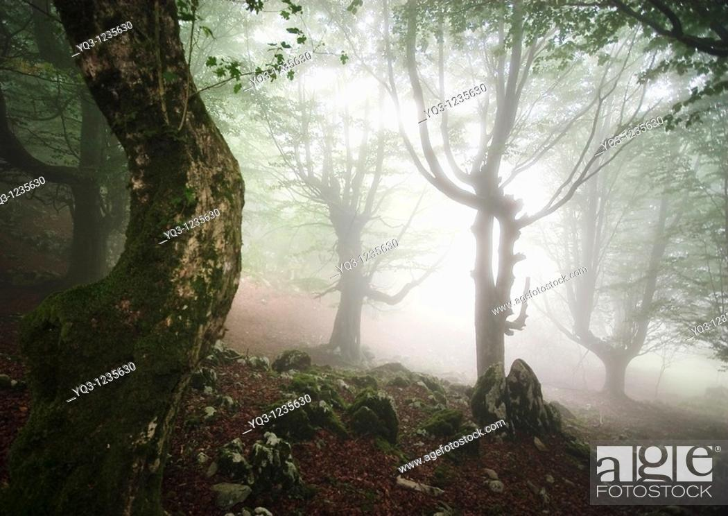 Stock Photo: Fog in the beech forest of Monte Cerredo, Castro Urdiales, Cantabria, Spain.