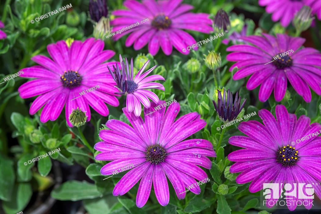 Stock Photo: Full frame of purple daisies summer garden.
