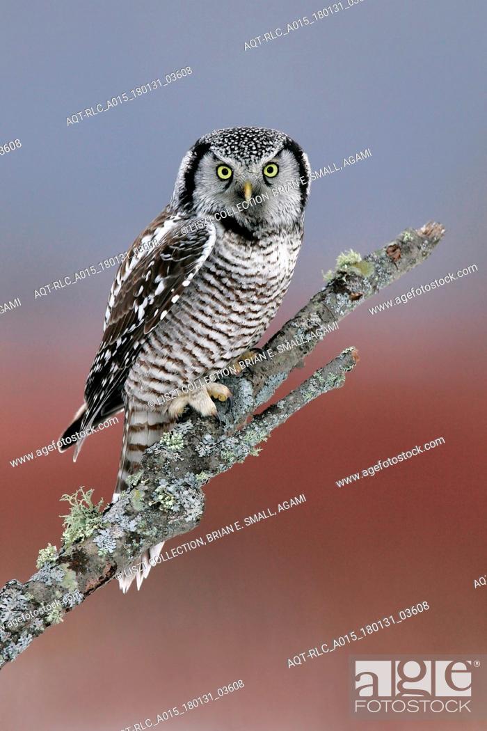 Stock Photo: Accipiter nisus, Eurasian Sparrowhawk.