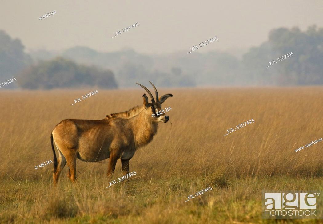 Stock Photo: Roan antelope (Hippotragus equinus) in Busanga Plains. Kafue National Park.