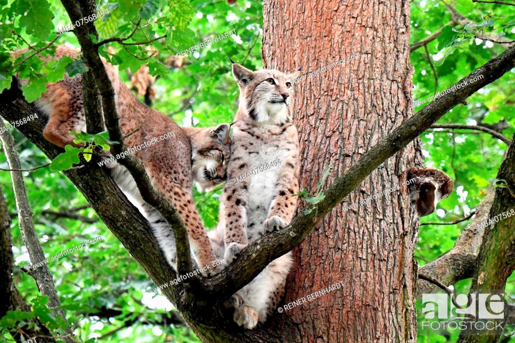 Stock Photo: Lynxes, forest.
