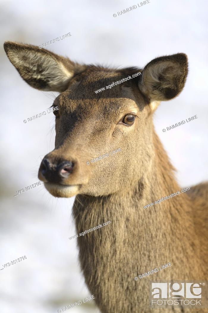 Stock Photo: Red Deer, Cervus elaphus, female in winter, Germany, Europe.