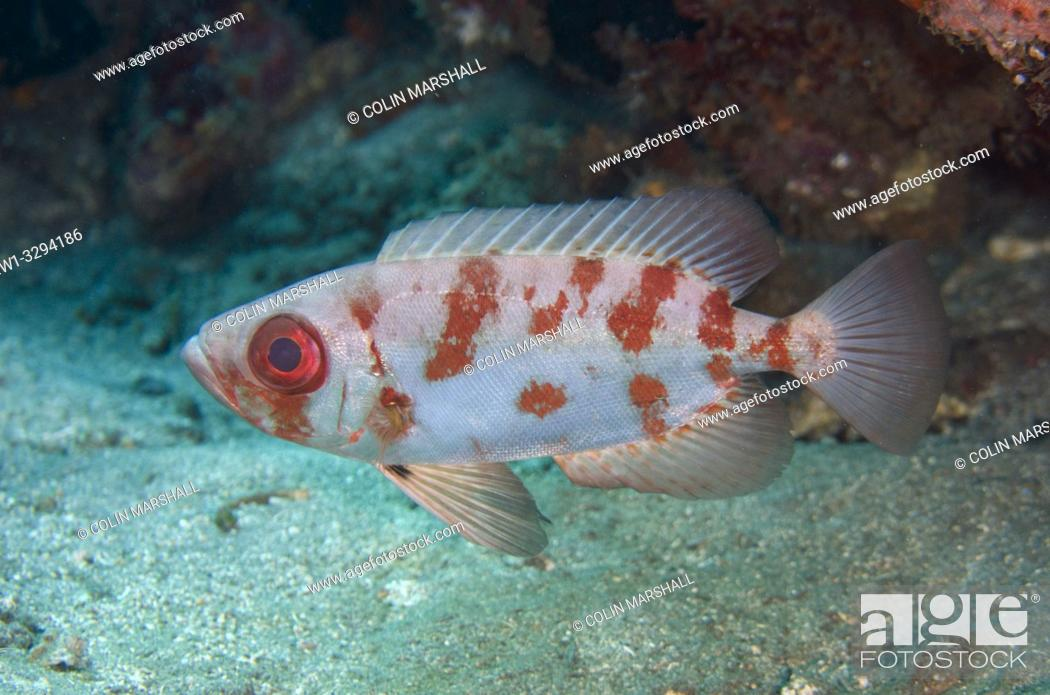 Imagen: Bloch's Bigeye (Priacanthus blochii) in mottled form, Pyramids dive site, Amed, Bali, Indonesia.