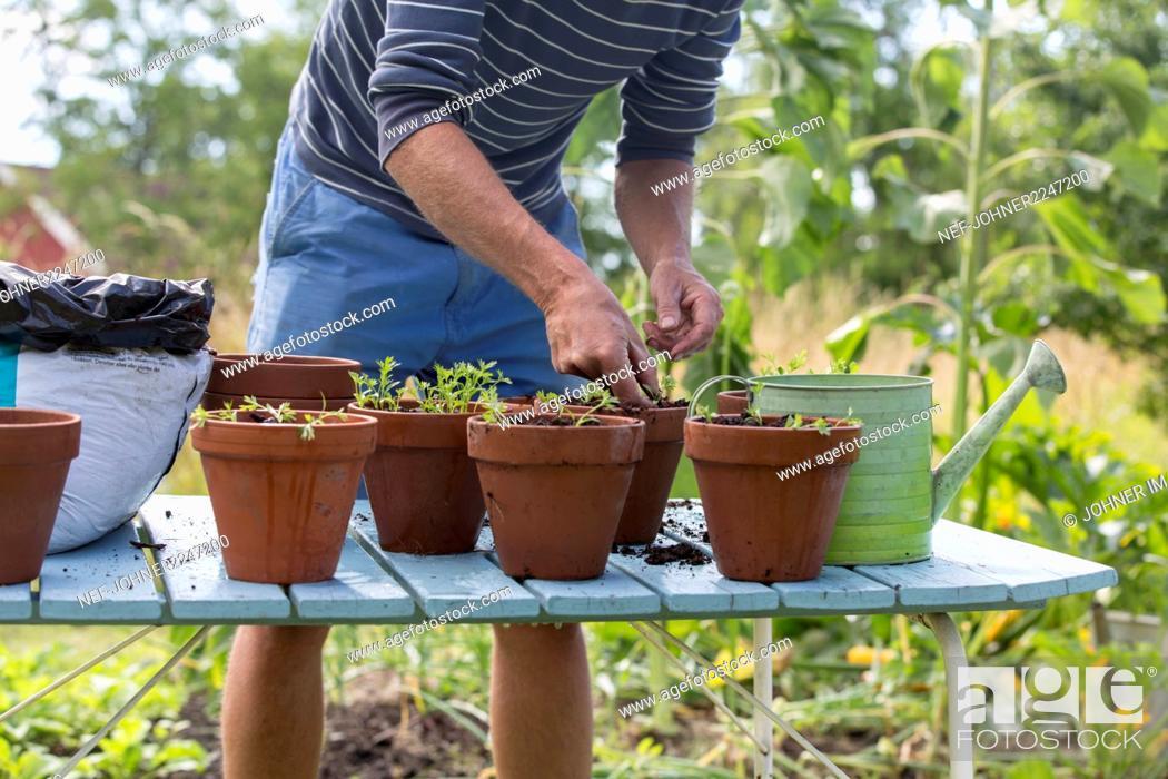 Stock Photo: Man planting plants in pots.