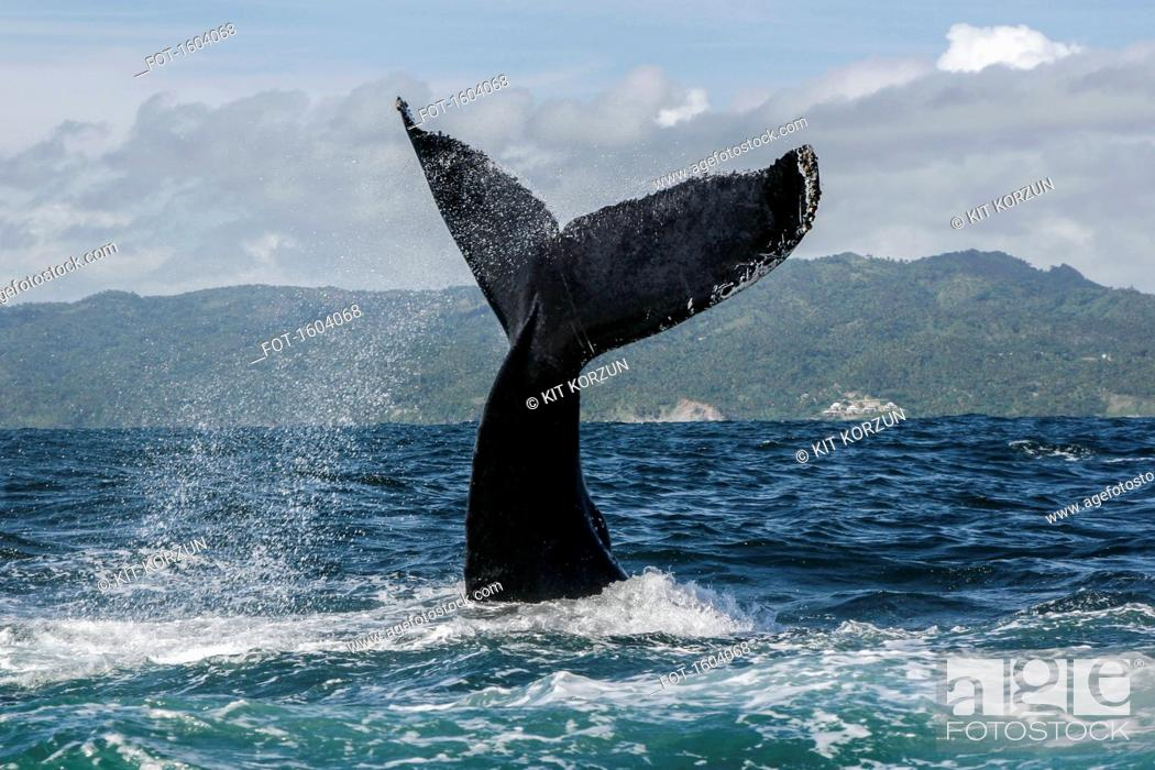 Stock Photo: Humpback whale diving in sea.