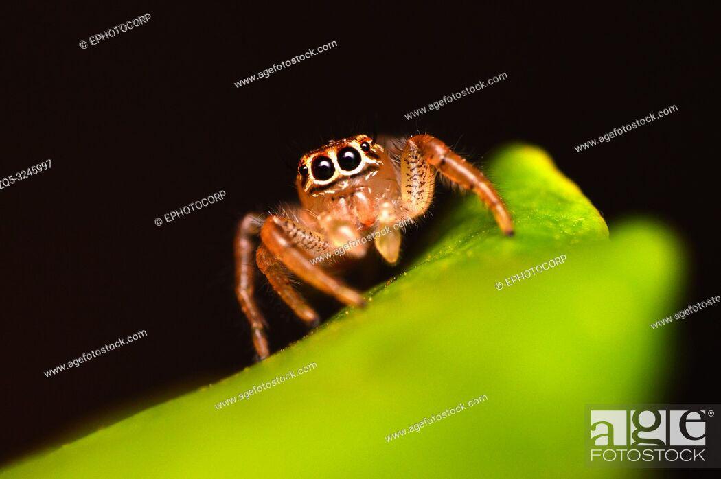 Stock Photo: Female Jumping spider - Thyene imperialis, Satara, Maharashtra, India.