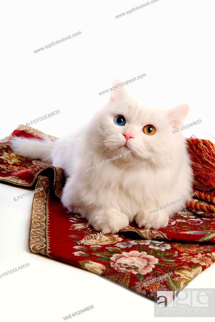 Stock Photo: lying, turkish angora, domestic cat, feline, domestic animal, close up, cat.