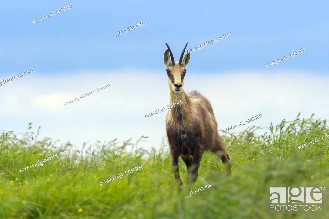 Stock Photo: Chamois (Rupicapra rupicapra) in summer, Hohneck, Vosges, Alsace, France, Europe.