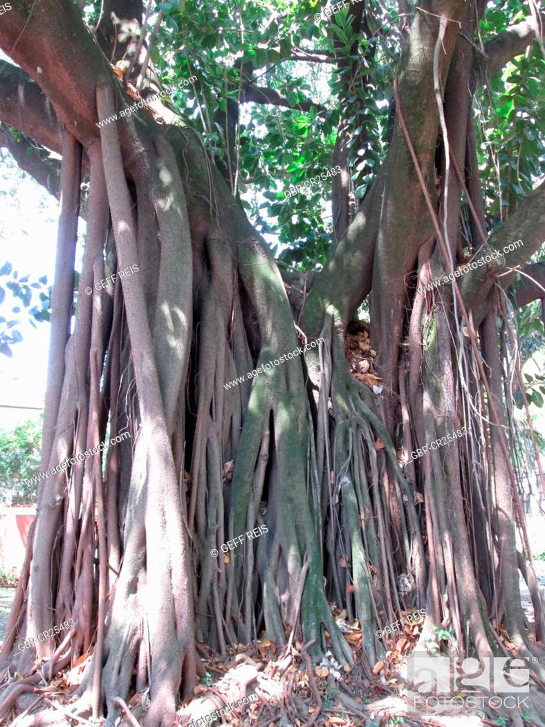 Stock Photo: Ficus religiosa, Brick wall, tree roots, São Paulo, Brazil.