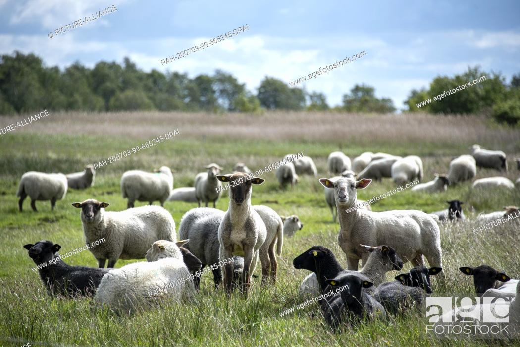 Stock Photo: 06 June 2020, Mecklenburg-Western Pomerania, Hiddensee: Sheep stand on a meadow near the fishing village Neuendorf. Photo: Stephan Schulz/dpa-Zentralbild/ZB.