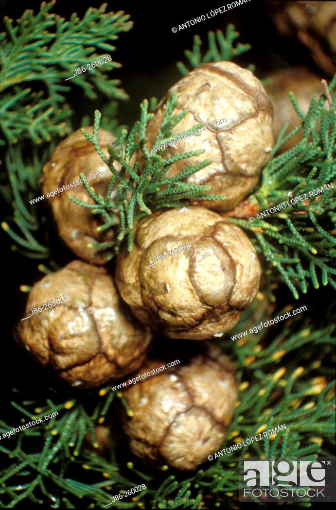 Stock Photo: Mediterranean Cypress (Cupressus sempervirens) fruits.