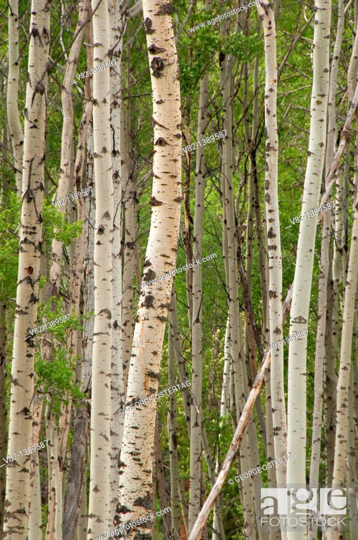 Stock Photo: Aspen, Jasper National Park, Alberta, Canada.