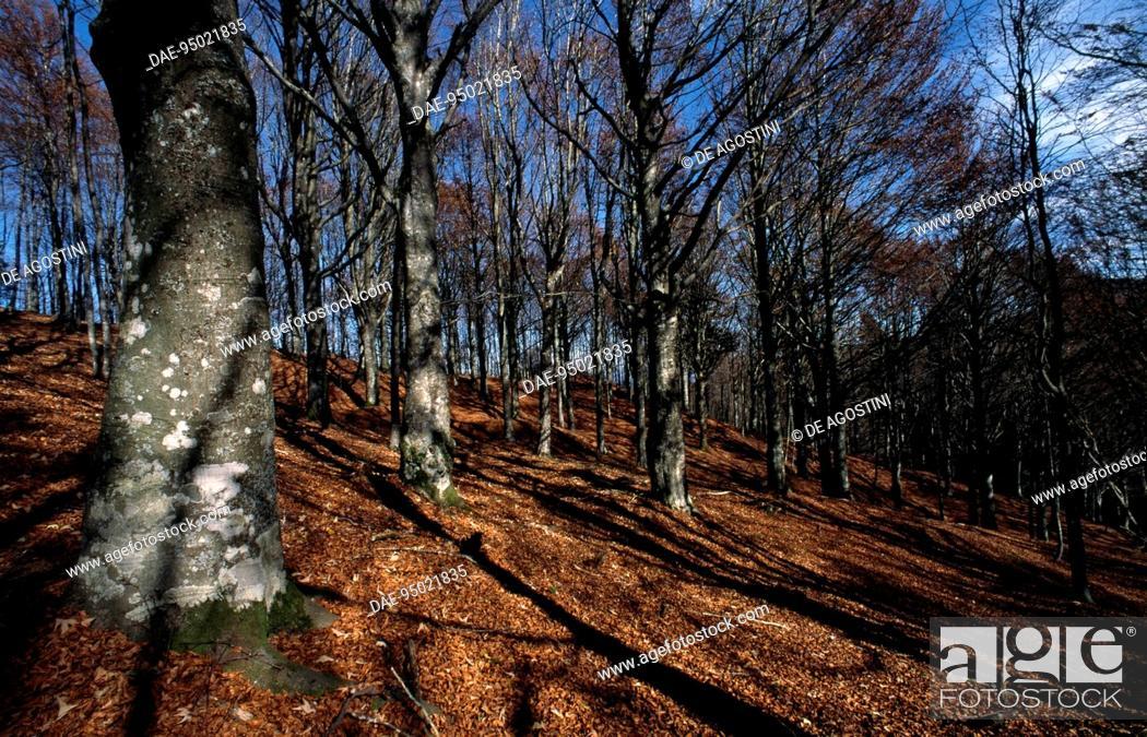 Stock Photo: Beech trees (Fagus sylvatica), Casentino Forest National Park, Mount Falterona, Campigna, Tuscany and Emilia-Romagna, Italy.