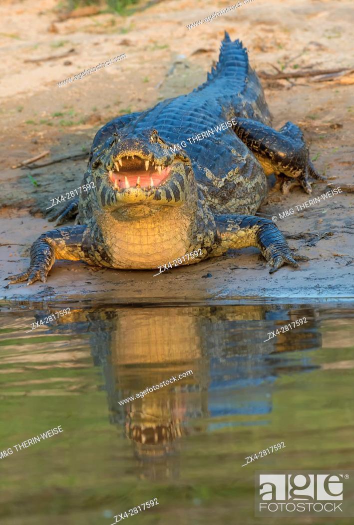 Photo de stock: Yacare caiman (Caiman yacare), Pantanal, Mato Grosso, Brazil.