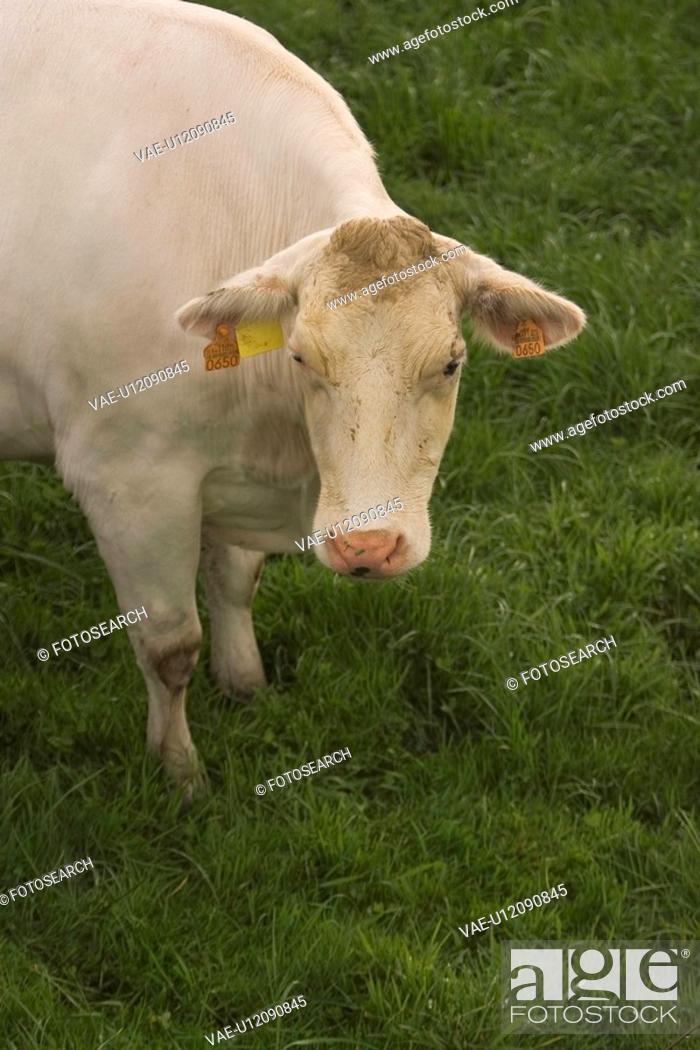 Stock Photo: wild, life, shadow, outside, cow, bovine.