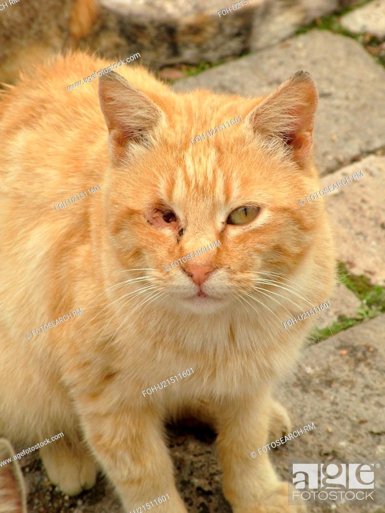 Cat Tuscany Italy Sovana Toscana Europe Yellow Tabby Feral Cat With One Eye Stock Photo Picture And Rights Managed Image Pic Foh U21511601 Agefotostock