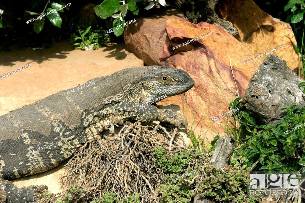 White Throated Rock Monitor Lizard Shedding Skin Varanus
