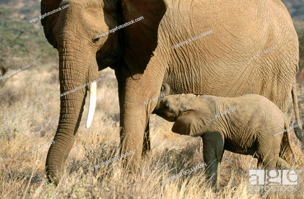 Stock Photo: African Elephants (Loxodonta africana), mother suckling calf. Samburu, Kenya.
