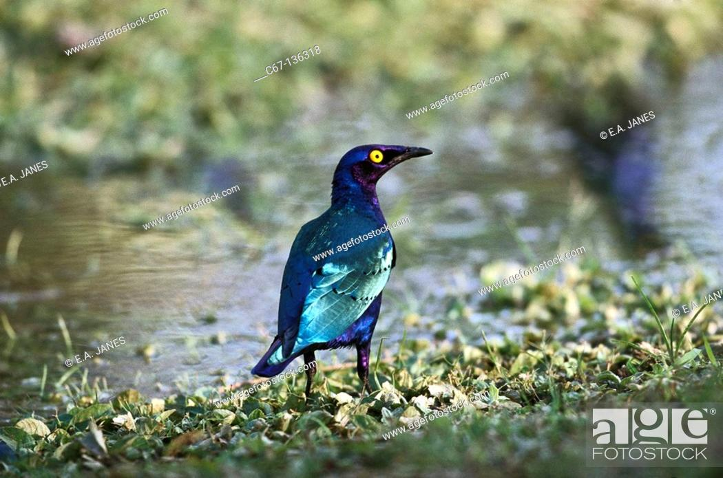 Stock Photo: Greater Blue-eared Starling (Lamprotornis chalybaeus).
