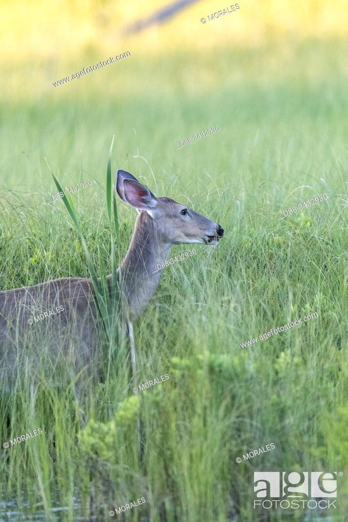 Stock Photo: United States, Michigan, white-tailed deer (Odocoileus virginianus), in a marsch near by a lake.