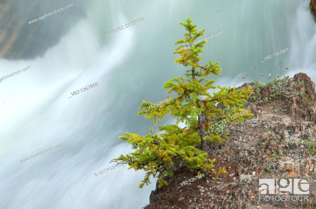 Stock Photo: Tree along Kicking Horse River, Yoho National Park, British Columbia, Canada.
