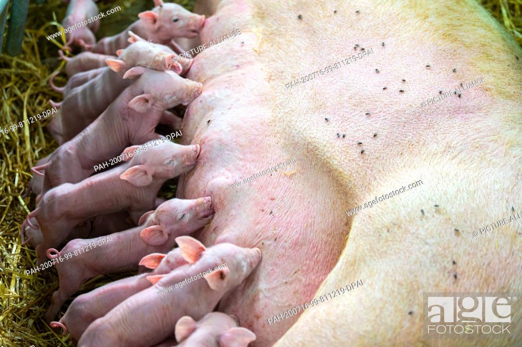 Stock Photo: 15 July 2020, Lower Saxony, Aurich: Piglets in a barn drink milk from the mother sow lying in the straw. Photo: Mohssen Assanimoghaddam/dpa.