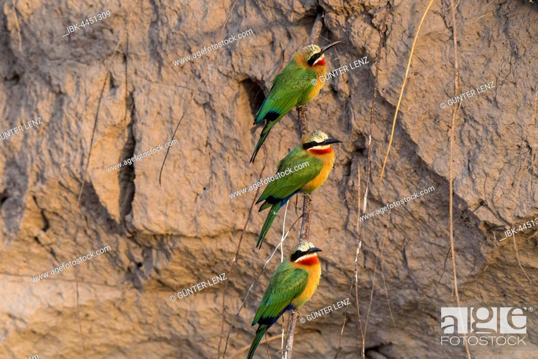 Stock Photo: White-fronted bee-eater (Merops bullockoides) in front of nesting wall, Chobe River, Chobe National Park, Botswana.