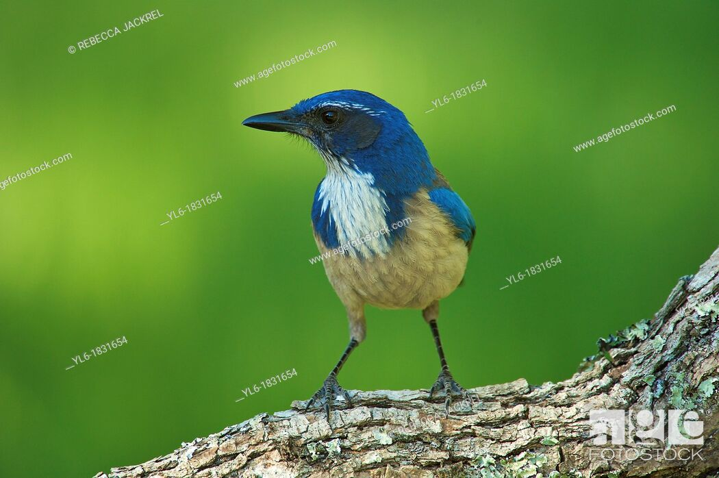 Stock Photo: Western scrub jay perched on a branch.