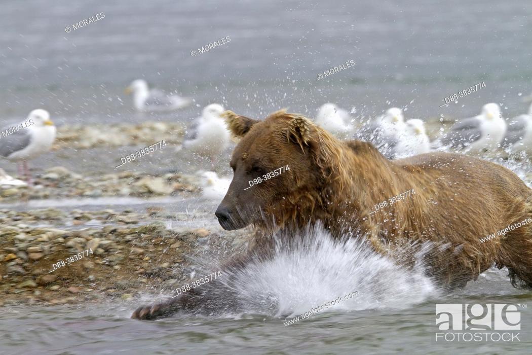 Stock Photo: Alaska , Katmai National Park and Preserve , Grizzly bear ( Ursus arctos horribilis ) , order : carnivora , family : ursidae , .