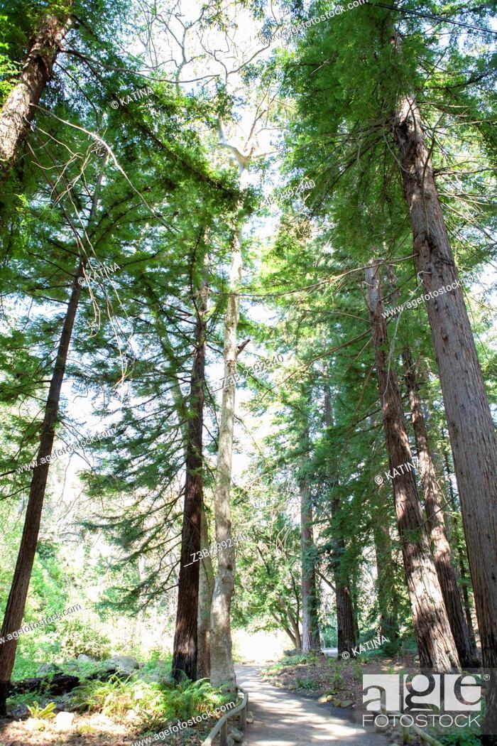 Imagen: Redwood forest in the Santa Barbara Botanic Garden; Santa Barbara; Santa Barbara County; California; CA; USA.