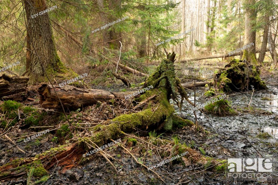 Stock Photo: Party declined stump with parts of broken spruce tree around against dense coniferous stand in morning.