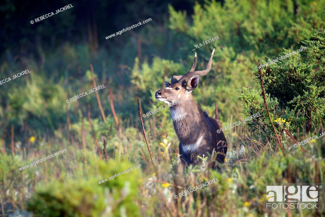 Stock Photo: A male mountain nyala in the Bale Mountains National Park.