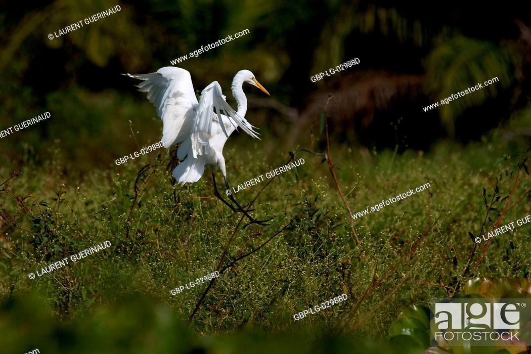 Stock Photo: Heron, Ave, Pantanal, Mato Grosso do Sul, Brazil.