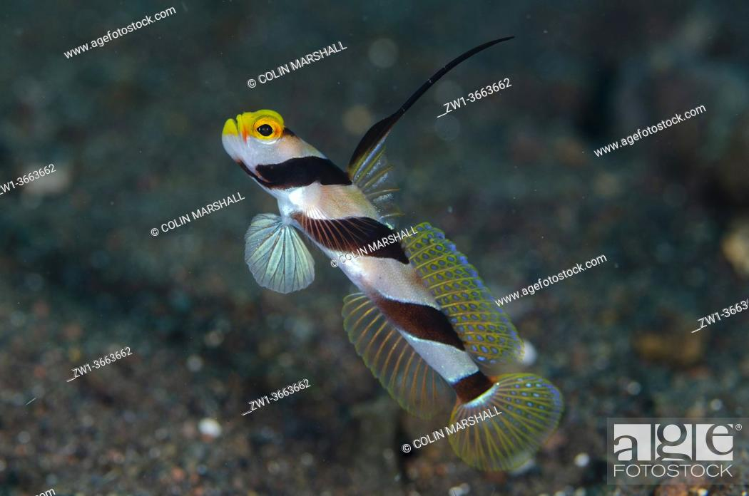 Stock Photo: Black-rayed Shrimpgoby) with erect fin, River dive site, Tulamben, Karangasem, Bali, Indonesia, Indian Ocean.