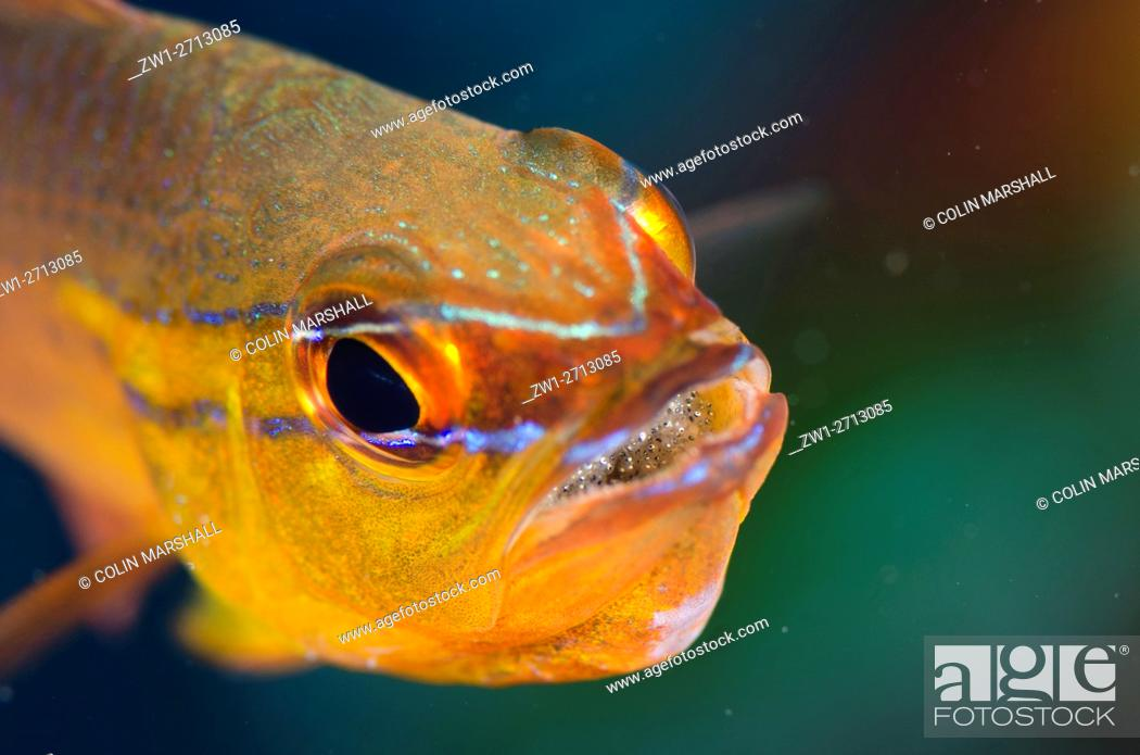 Stock Photo: Goldbelly Cardinalfish (Ostorhinchus apogonides) with eggs in mouth, Coral Gardens dive site, Seraya, Bali, Indonesia.