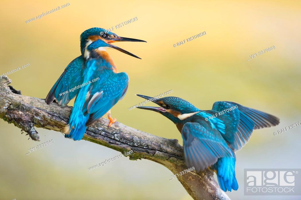 Stock Photo: Common Kingfisher / Eisvogel ( Alcedo atthis ) fledgling begging for food. Old male shows territorial behaviour, chasing fledling out of its territory.