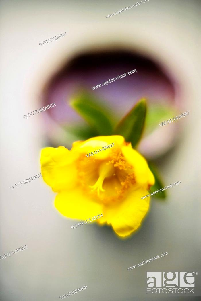 Stock Photo: Hypericum patulum.