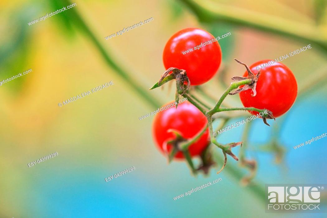 Imagen: Branch of red ripe tomatoes in garden.